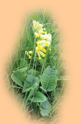 Cowslips at Lendales Farm